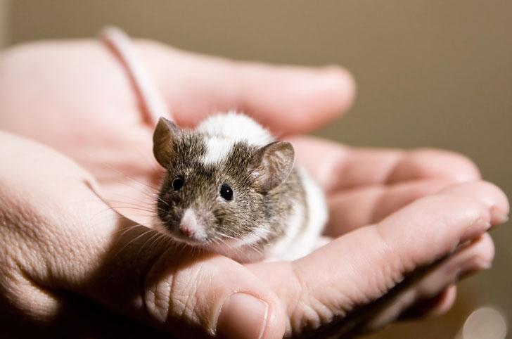 Боязнь мышей (мусофобия): симптомы и лечение